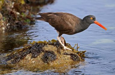 black-oystercatcher-2136073_1280